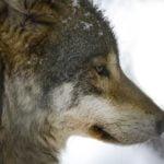 Röyhkeä susi lopetettiin Rengossa