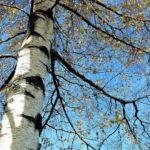 Uusia puita Hämeenlinnassa kahteen puistoon