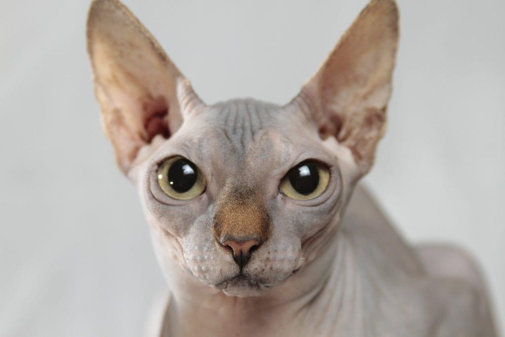 Kissa, sfinksi